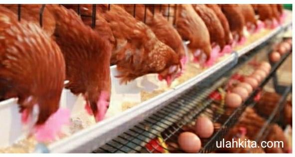 pemberian pakan ayam