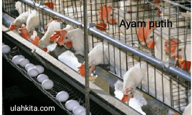 Budidaya Ayam Petelur Bagi Pemula