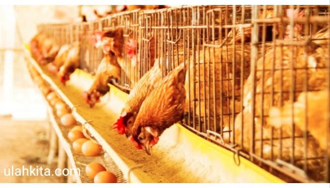 budidaya ayam petelur