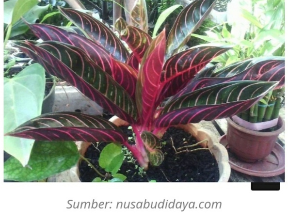 aglonema pride of sumatera