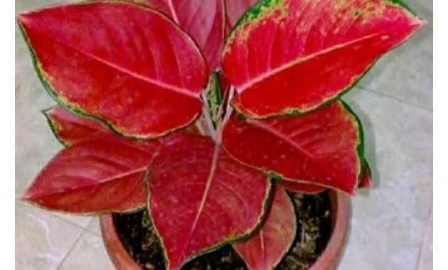 Red kochin