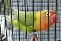 lovebird Josan video