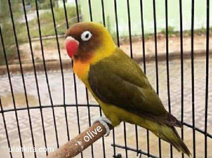 lovebird jenis olive