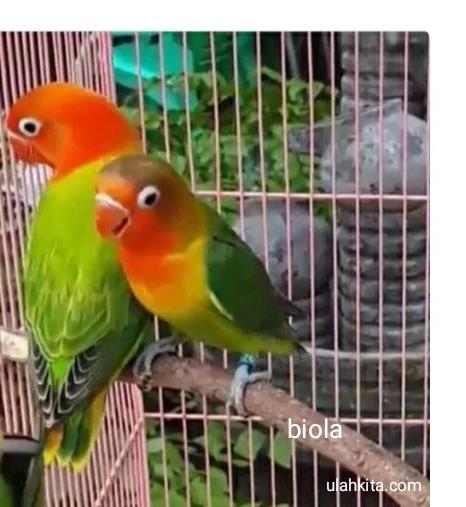jenis lovebird biola