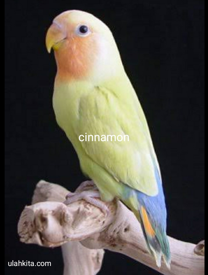 jenis lovebird connamon