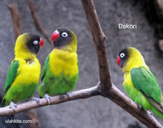 jenis lovebird dakori